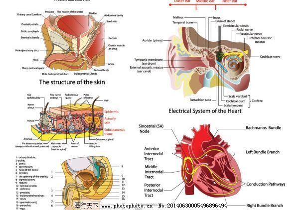 人体器官结构图说明矢量图
