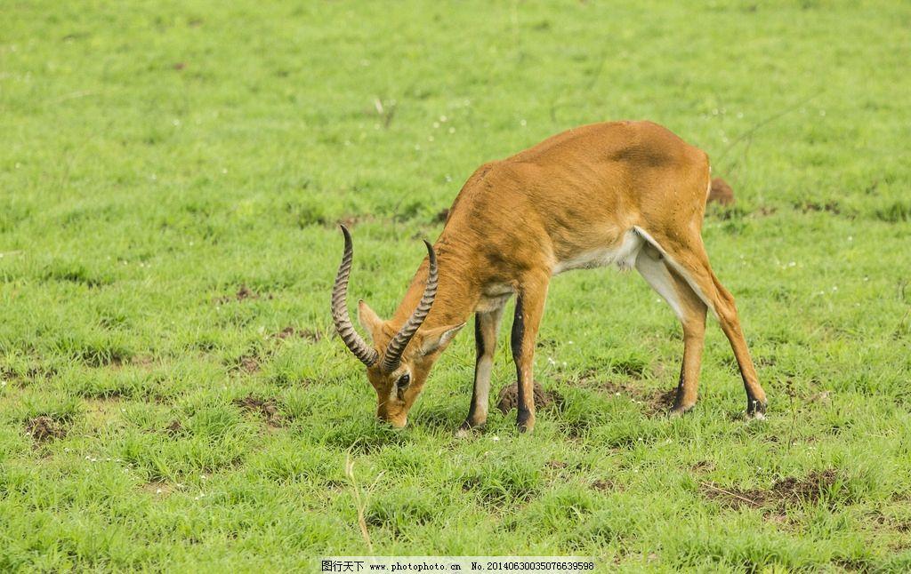 非洲羚羊 非洲 乌干达 草原 绿草 羚羊 长角 吃草 乌干达的野生动物