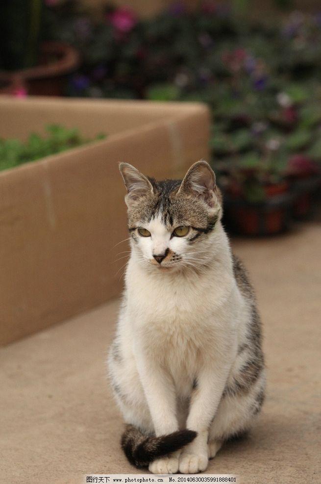 猫 猫咪 猫科动物 花猫 大花猫 小猫 眯眼的猫 家猫 家禽家畜 生物